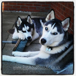 A photo of the two Huskies